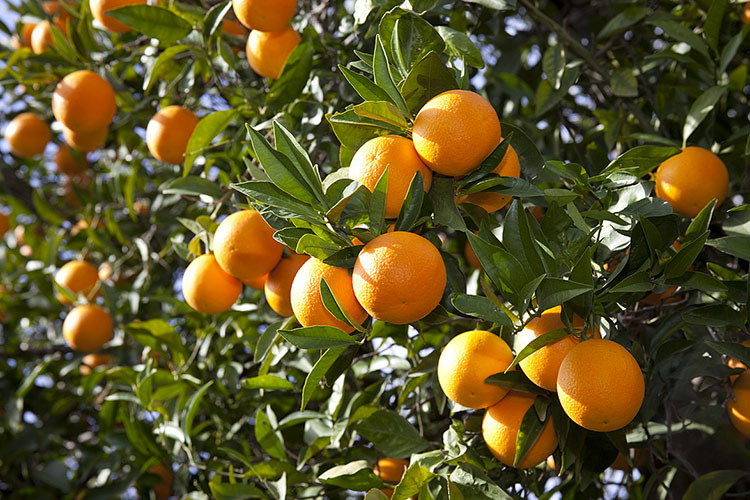 La Tunisie croulera… sous les oranges, production record en vue